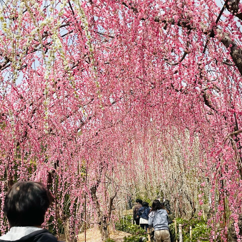 浜松の北の方に 梅を見に来ました😊  昇竜しだれ梅園。 お腹空いたので、 浜名湖弁天島まで。 #春 #Spring  #浜松 #浜名湖 #昇竜しだれ梅園  #instagood #japan #instalove #beautiful #iPhone