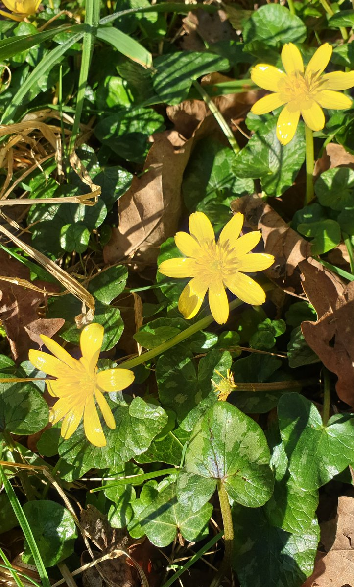 Proper full-out glossy Celandines basking in the sunshine 🌞   #spring #SaturdayVibes