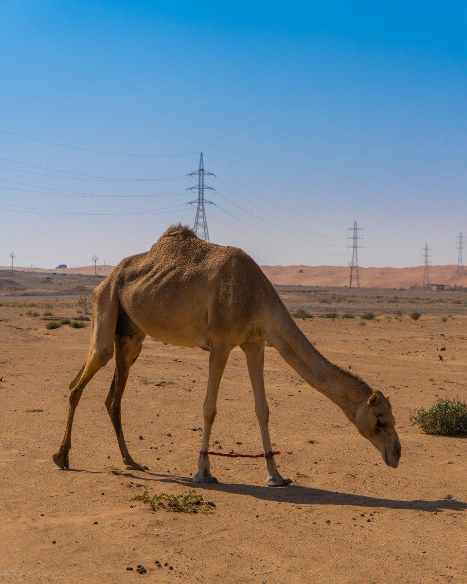 Oh hello! We had an unusual visitor this morning - did you see him during your visit?  أوه مرحبًا! لقد أتانا زائر غير عادي هذا الصباح - هل رأيته خلال زيارتك؟  #الامارات #الشارقة #جوائز #سحب #ربح #UAE #Sharjah #mleiha