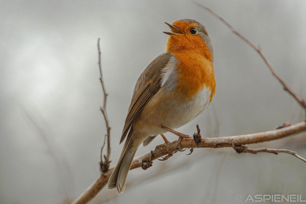 I do love this bird... #RSPB #nature #wildlifephotography #wildlife #FridayMotivation #fridaymorning #photooftheday #photo #picoftheday #birdwatching #birds #BirdsSeenIn2021 #twitcher #Robin
