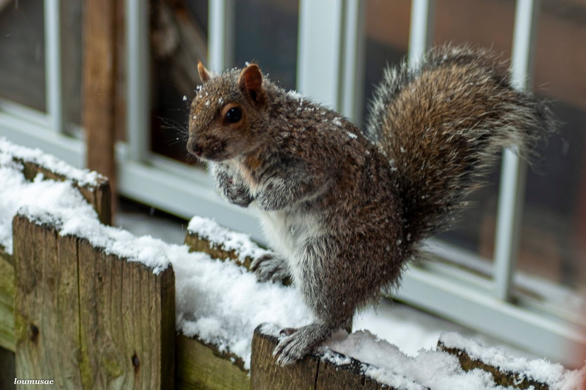 @LGrahamCTV Please sir can I have some more. Rain or snow these little fellas want their treats. #snowing in #Montreal #squirrels