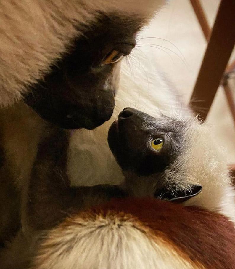 ICYMI Coquerel's sifaka Felix is the first @DukeLemurCenter baby of the season 💙  🗞️