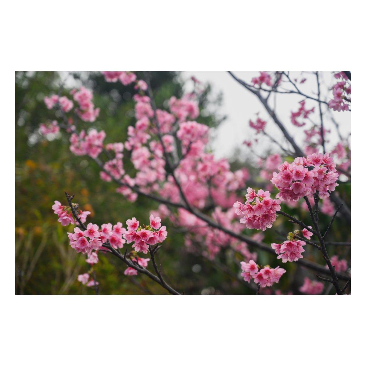 あでやかな美人。 #写真 #ファインダー越しの私の世界  #写真シェア #写真好きと繋がりたい #Nikon #Z6 #Z2470F4 #お写ん歩 #沖縄 #vsco #桜 #花 #2月ふぉと