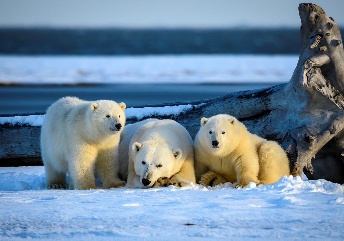 Paws for #PolarBearDay! Did you know that the @USGS leads long–term research on polar bears to help policy makers regarding conservation of the species and its habitat?