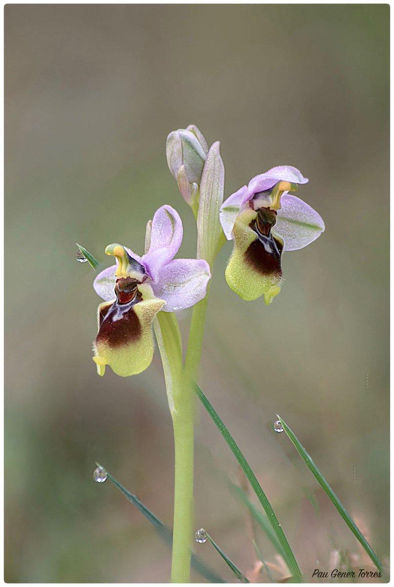 Quatre gotes per l'orquídia.  #orquídia #Menorca #orchid #photography