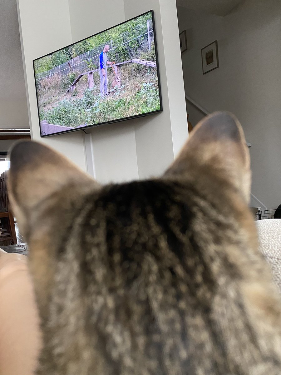 For this #caturday, I give you Adhira, religiously watching YouTube videos of puma Messi in Russia.  She does not get sick of these videos, and will wake from a nap just to watch her puma buddy.  (I'm working on using it to learn Russian. No luck so far.)