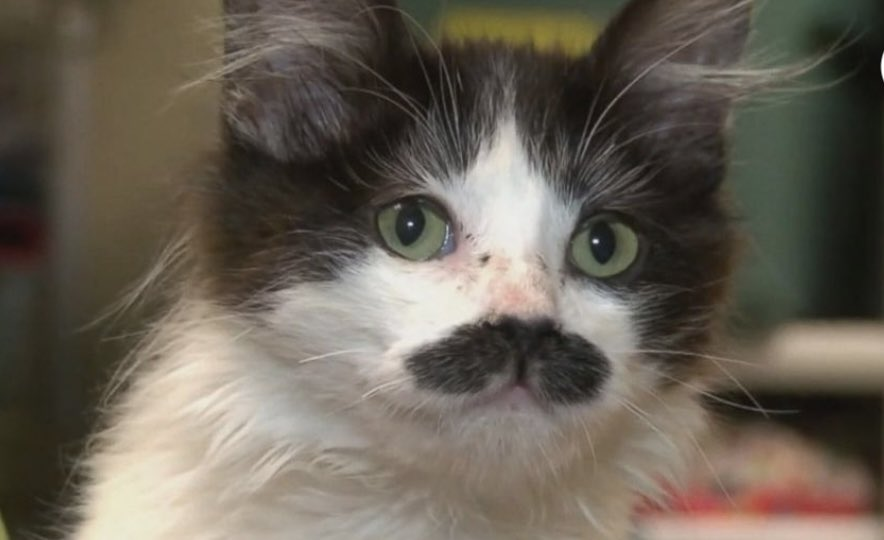 Happy #weekend This is a real cat and mustache 😍 Photo credit  of @ABC  #CatsOfTwitter #Caturday #catsofinstagram  #FF @rockyohio @TW2CayC @CattMcCreary @Cheryl_L_Hyde @EvanKirstel @enricomolinari @sarahjeanfry  @BentleyAudrey @SDGS4GOOD  @TriciaKicksSaaS @FrRonconi