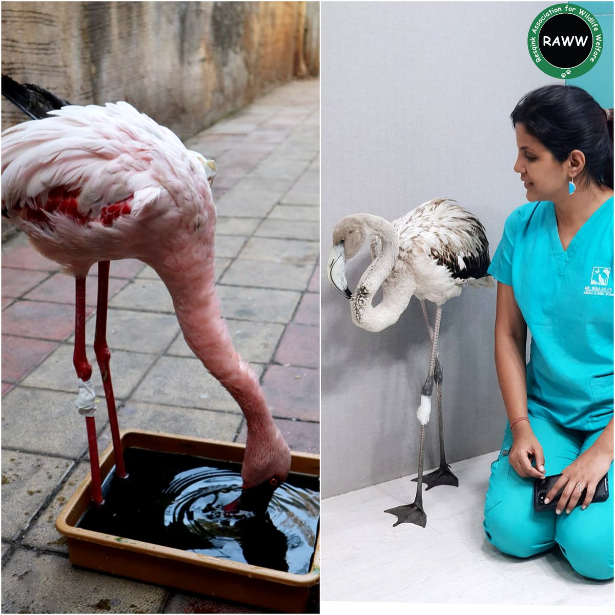 Challenges while rehabilitating injured #Flamingos in #Mumbai (A THREAD)  The #pink #birds namely the #LesserFlamingo & #GreaterFlamingo are two of the several other birds that migrate to #Mumbai & adjoining cities like #Thane,  #NaviMumbai between November to May.