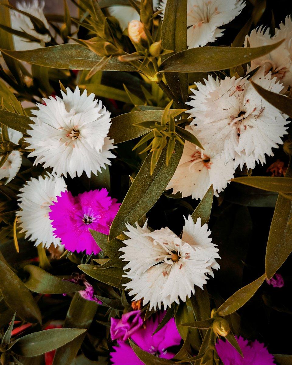 #pocox2 #shotonpoco #carnations #sweetwilliam #Pink #desaturated  INSTAGRAM  :  📸