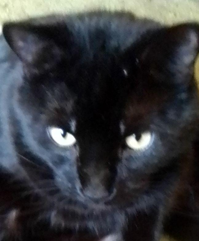 @LolaLegged @bao_bao_bun Happy #Caturday 🐾😻💕 #BigSam #CatsOfTwitter #blackcatsrule 😽💯