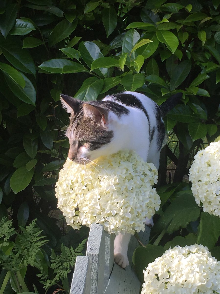 Happy #Caturday! Sarah Wilson's UK garden podcast, @rootsandall, recently featured @CatsProtection on her episode all about the issues around Cats in Gardens.  See more here -   #cats #garden #gardening #gardenpodcasts