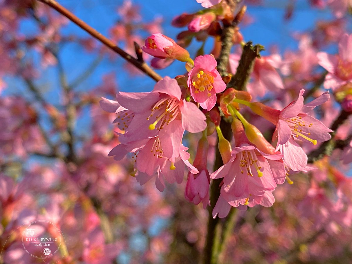 Day 58 of my 365 project for 2021 (one image per day for the year).   Blossoms  #photography #project365