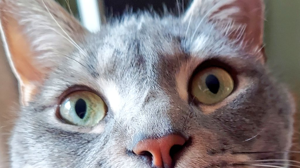 All pink nose, green eyes, and big ears! #Caturday