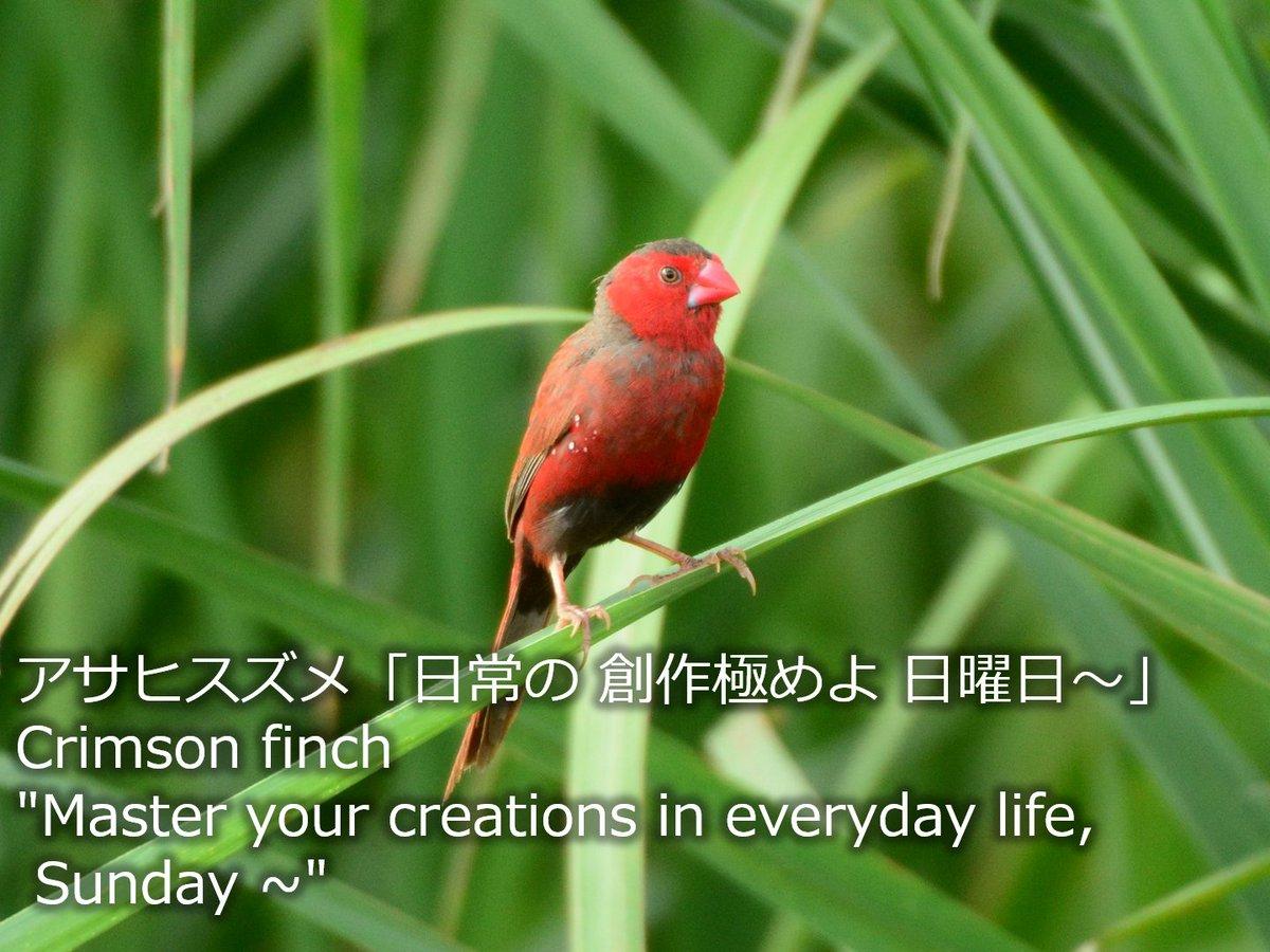#野鳥川柳 #川柳 #日曜日 #にちようび #BirdSenryu #Sunday #野鳥 #bird #birdwatching #birdphotography