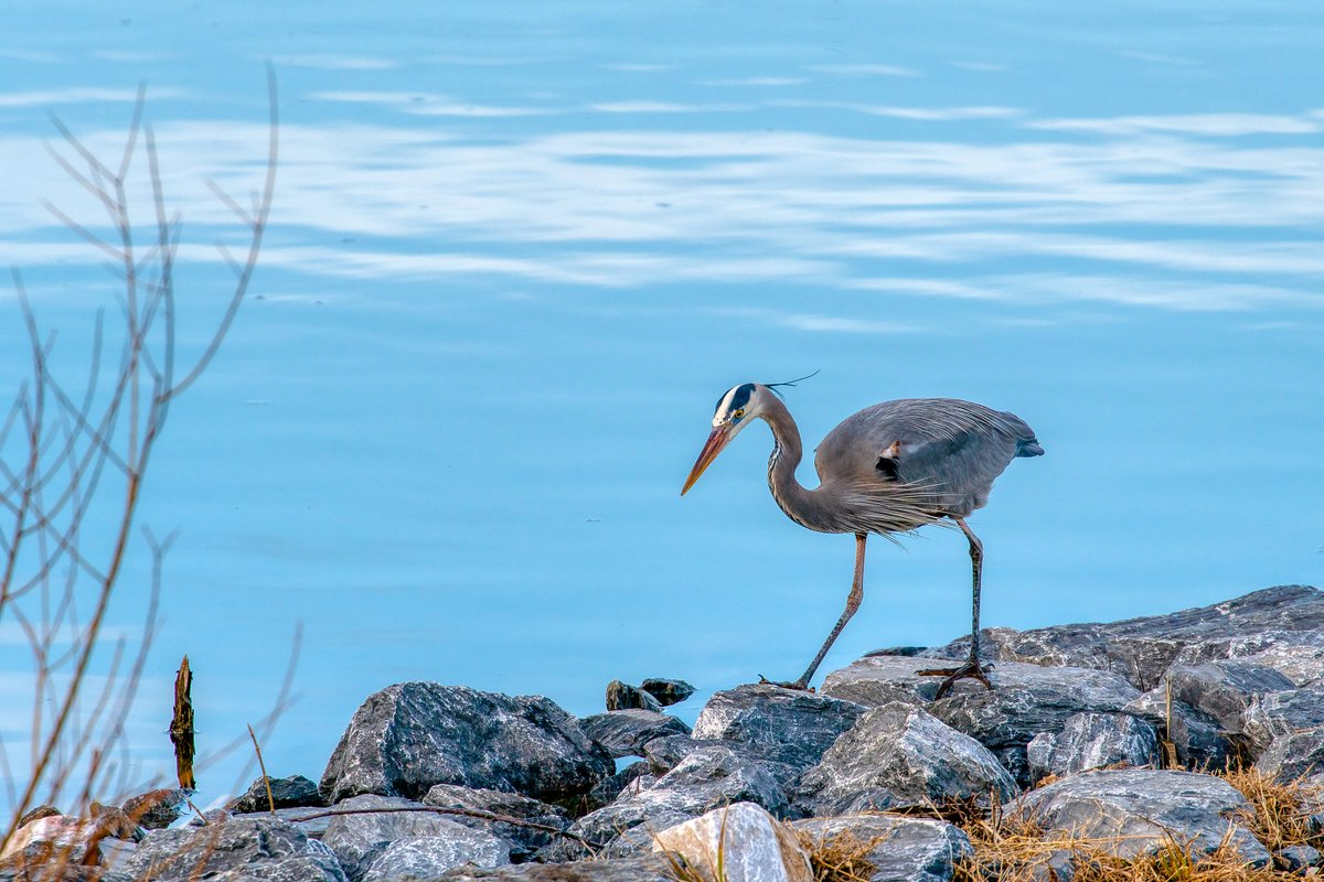 Today at Centennial Park  #HoCoMd #columbiamd #parks #NaturePhotography  #heron #lakeloop #naturelovers  #wildlife #winter #a6300  #nature #birdwatching #birds #animallovers #birdsofinstagram  #birding #blue #birdsinflight  #wildlifephotography #birdsoftwitter #blue