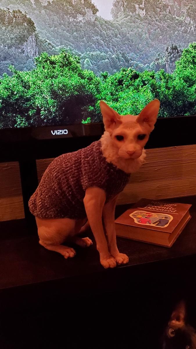 Feeling fancy in my new sweater.  #fancy #Caturday #CatsOfTwitter #CatsOnTwitter #catsofinstagram