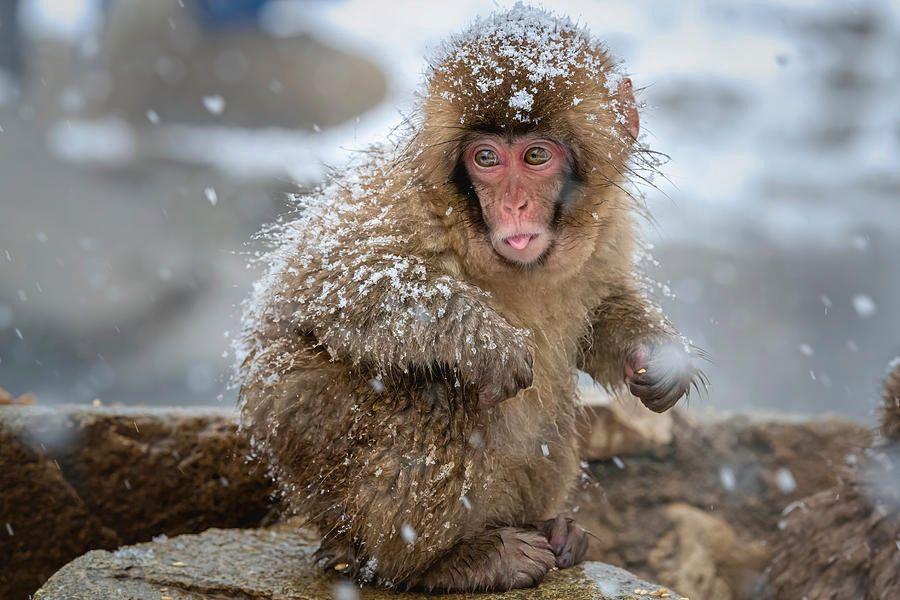Japanese Snow Monkey VII!  #monkey #snowmonkey #winter #snowing #japan #wildlife @joancarroll