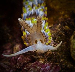 Berghia coerulescens en Marina del Este. . . . . . #buceo #underwaterphotography #scubadiving #scuba #ocean #sea #dive #photography #nature #fish #water #uwphotography #marinelife #underwaterworld #underwaterlife #beach #aventura #vidasalvaje #scubadiver #photooftheday #bhfyp