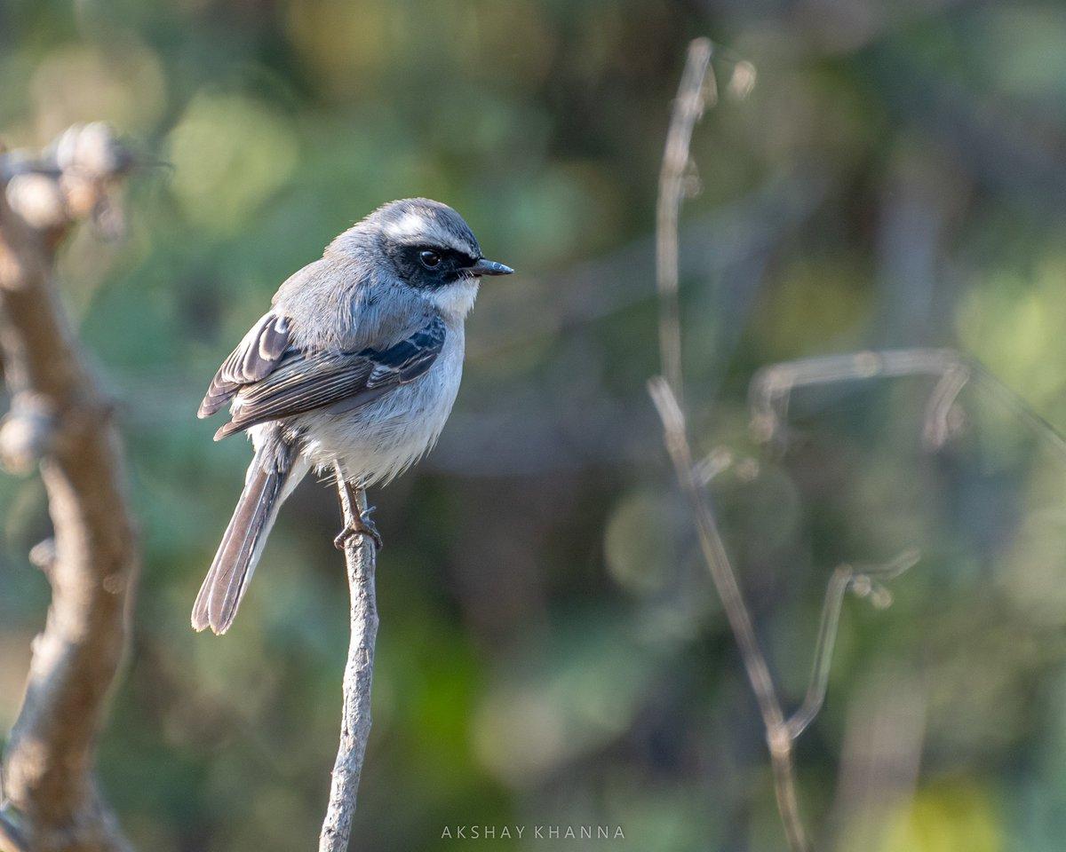 Gray Bushchat. #jhirna #corbettnationalpark   #birdwatching #birding #IndiAves #TwitterNatureCommunity #birds #BirdsSeenIn2021 #birdphotography #birdwatcher #bushchat #BBCWildlifePOTD #ThePhotoHour #nikon #d7500 #70300mm #wildlife #birdsofindia #nature @Avibase @LensAreLive