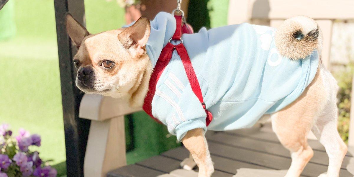 Spring has come.    #frenchbulldog#chifuafua#dog#dogstagram #frenchiephotos#daily_frenchie#frenchies1#inutokyo#ふわもこ部#法斗#法鬥 #チワブル#frenchbullhuahua#mixdog #bullfuafua #doglover   場所: AOZO-RUN