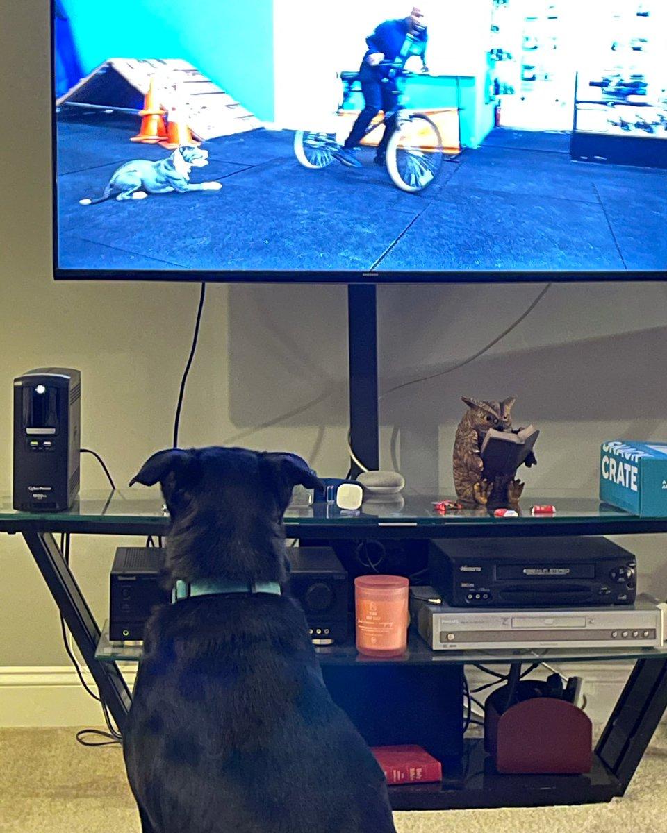 Riley loves dog shows  @RileyBeerDog #beerdog #beer #dog #rileythebeerdog