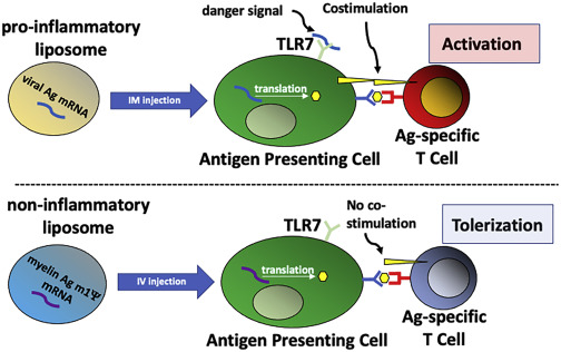 #article #news #cell A Tolerizing mRNA #Vaccine against Autoimmunity? In this commentary, Dr. Roberto Furlan tried to figure out whether the mRNA vaccines might achieve antigen-specific immune tolerance to treat autoimmune diseases.