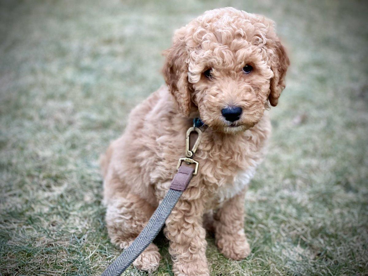 It's a frosty #SundayMorning today! ❄️#goldendoodle #puppy #puppylove #puppygram #puppyalbert #love #dog #instagood #puppylove #cute #dogstagram #instadog #lovely #puppiesoftwitter #puppydog #dogs_of_twitter #beautiful #puppylife #dogslife #ilovemydog #like4like #albiedoodle