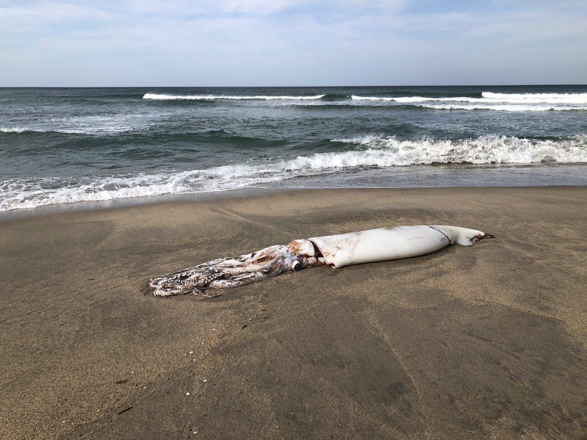 その大きさにビックリ!?海の砂浜にダイオウイカが落ちていた!