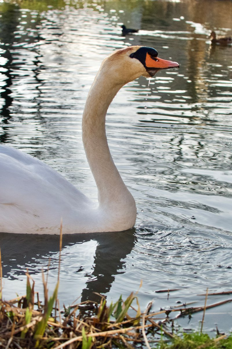 Swans Enjoying an early Spring 2021, video:   --- #swans #waterfowl #cygnus #birds #birdwatching ---