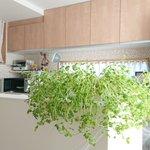 緑のあるキッチンが素敵と思ったら!食べるタイミングを失い成長しすぎた豆苗がすごすぎる!