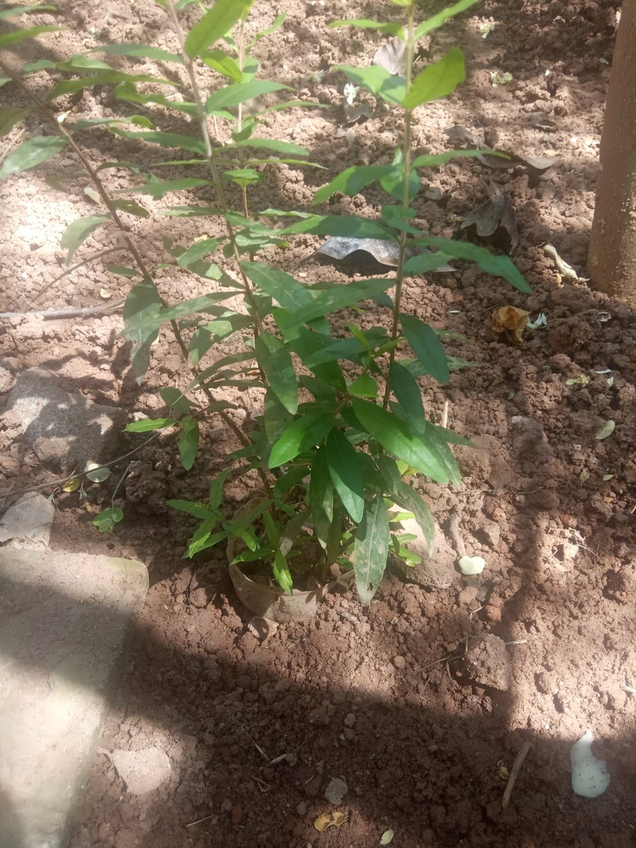 Happy To Share This Pic 🌴🌴 The pomegranate plant., I planted On My Birthday..!  மாதுளை செடி - So i decided Name us Madhu 😉  #GreenIndiaChallenge | #Ayalaan #Doctor #Annaatthe #BirthdayVibes