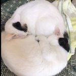 Image for the Tweet beginning: 保護猫カフェにいる時から丸まるスタイル😅  #猫 #cat #ねこ #白猫 #ねこすたぐらむ