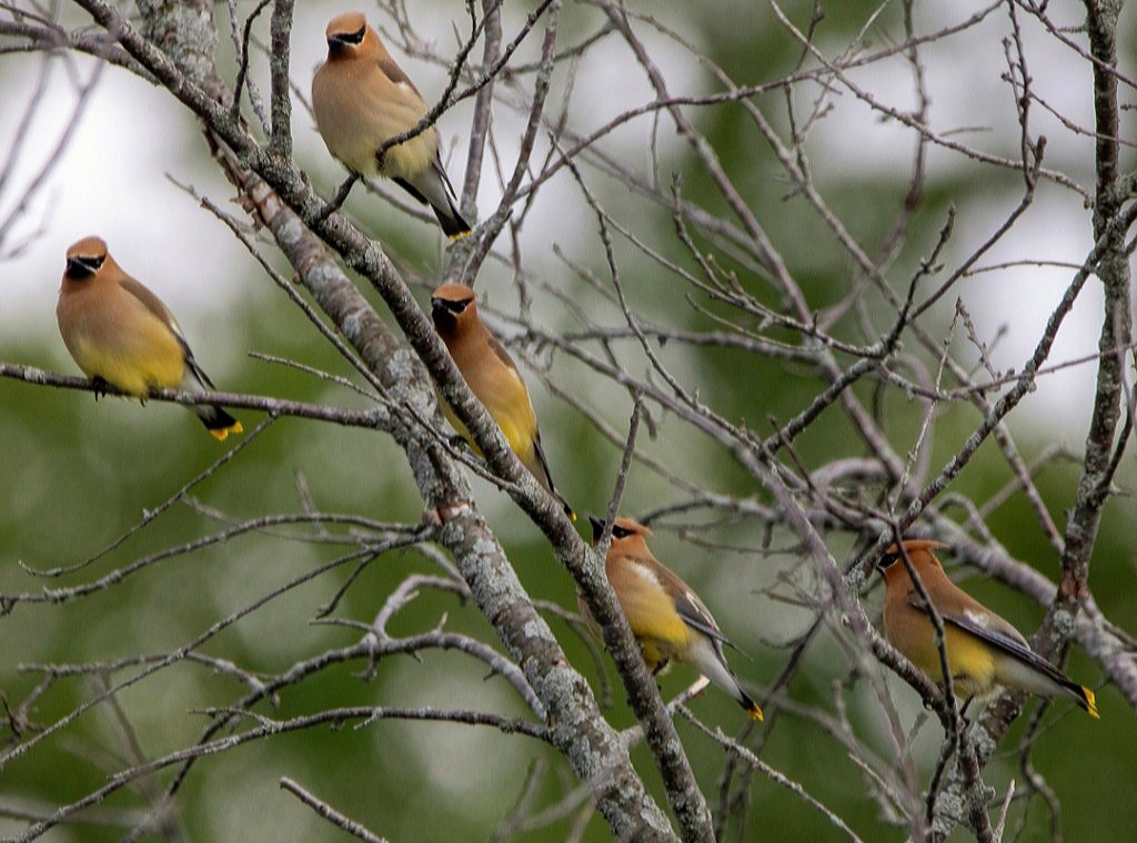 Cedar Waxwings (archives) #wildlife #photo #nature
