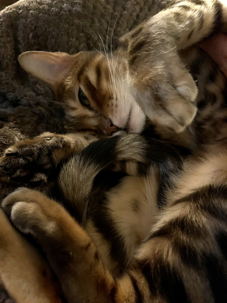 Sunday night snoozes 😺😺 #Sunday #cats #teambengal 😺😺