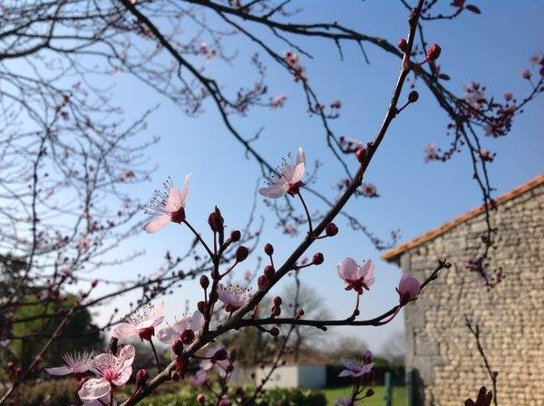 Its March 1st & #Spring has officially sprung in #Charente - trees in garden at #BikeHireDirect HQ are suddenly full of #Blossom!  If you would like to enjoy a Spring bike ride in area contact Phil at @CharenteBikes -   #NouvelleAquitaine #France #DispoVelo