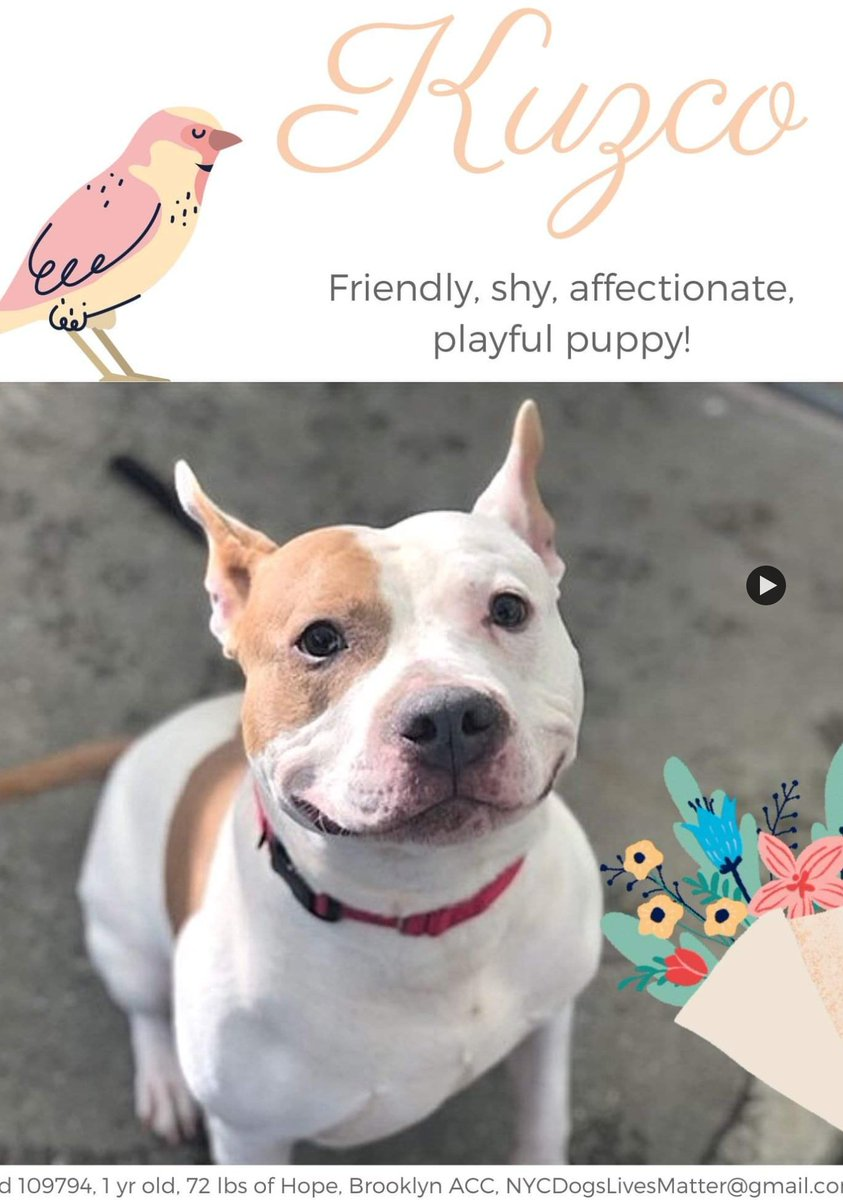 🆘️#NYCACC - TO DIE 2 MAR IF NOT PLACED🆘️ KUZCO 1yr #109794 A bright, shy puppy left tied to a tree who needs loving foster/13+home in N East via NHP rescue, so he can warm at own pace + get social lessons all pups need. Loves toys. ACC  More ⬇️#PLEDGE🙏🏼