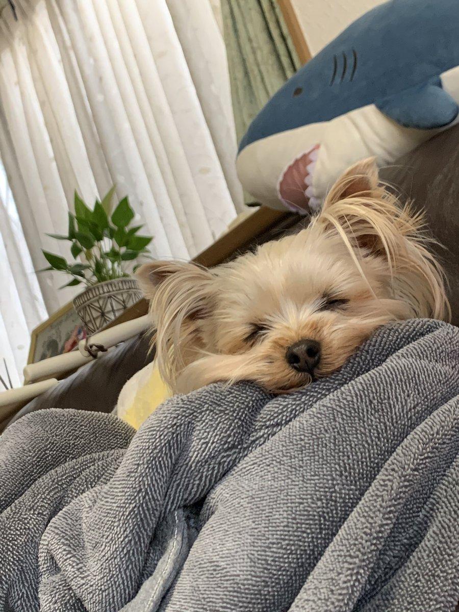 ✨今日の一枚✨ この寝顔にやられた💘 #ヨークシャーテリア  #犬との生活  #癒し  #きゅんです