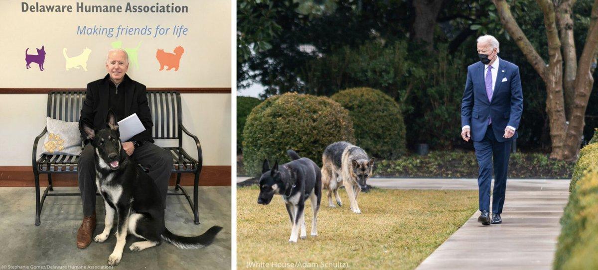 Por primera vez en la historia, un presidente de Estados Unidos de turno ha llevado consigo a la Casa Blanca una mascota adoptada de un refugio. El perro, cuyo nombre es Major Biden, fue adoptado por la familia en 2018 de la sociedad protectora de animales de Delaware,.