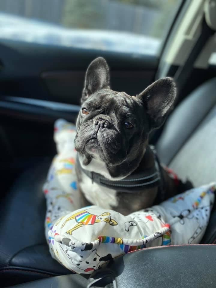 Willow wants you to consider making a one-time donation to SNORT on our website ! 🐾♥️🐶  #dogsoftwitter #frenchbulldog #AdoptDontShop #sundayvibes