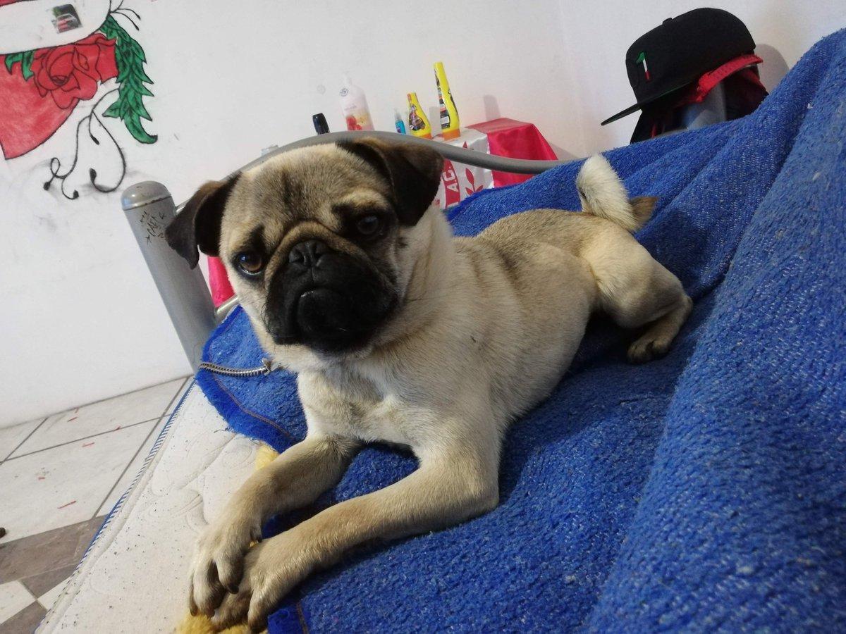 El consentido 💖🐶 #Ramon #calleypoche #pug #puglove #puglover #pugs #dogs #cute #perropug