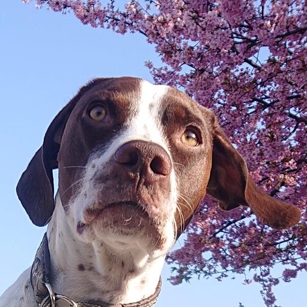 #おはようございます🌞 #イマソラ #Sky #青空 #今空 #BlueSky #晴天 #河津桜🌸 #今日も元気に頑張ろう  #イングリッシュポインター  #Gentle #ジェント #2才 #EnglishPointer #dog #イッヌ #Daliy #family #Doglover #GoodDog #LoveDog #きゅんです #モデル犬 #犬バカ部 #犬 #大型犬 #大型犬のいる生活