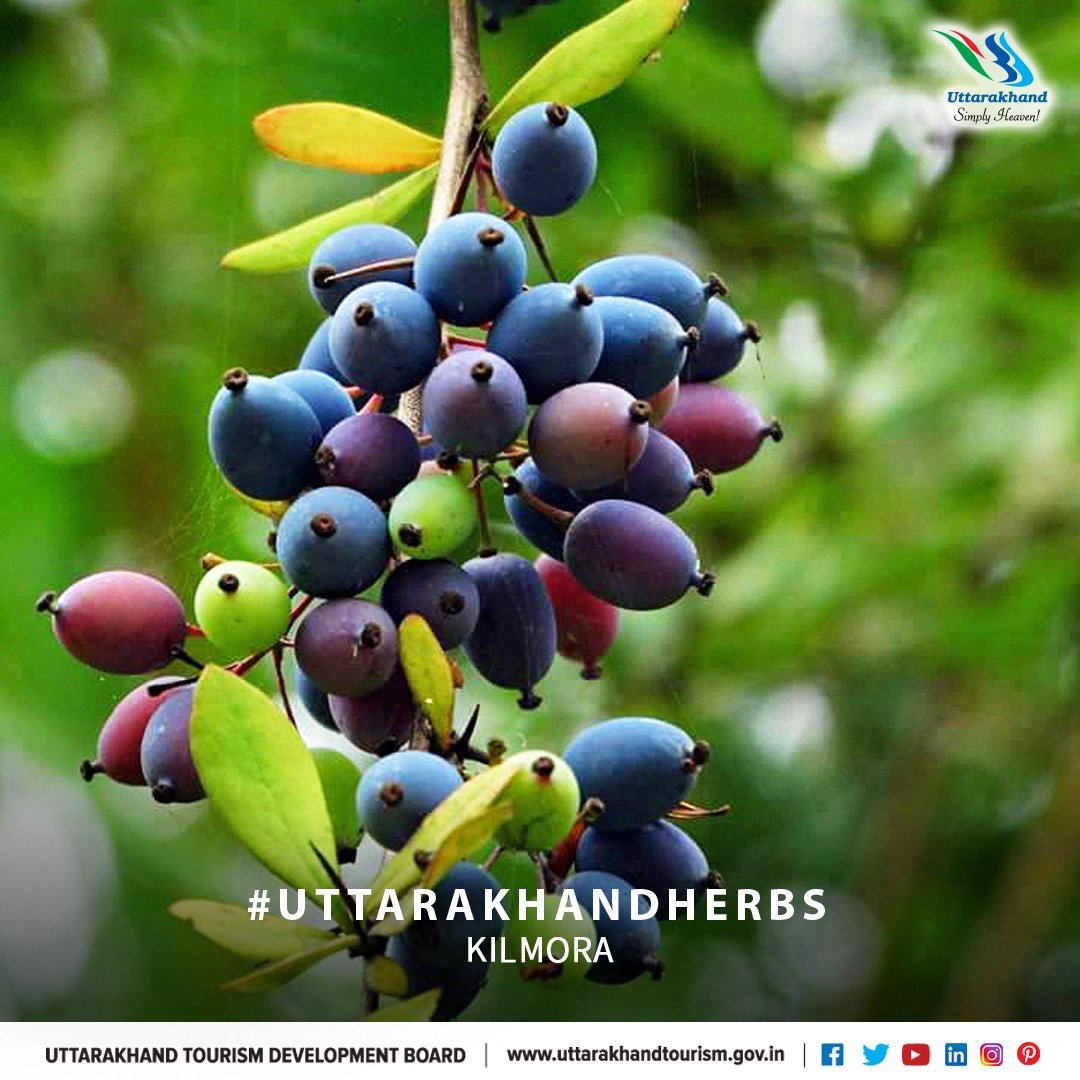 Uttarakhand is a storehouse of rich variety herbs and medicinal & aromatic plant species. Kimora is called 'Uttarakhand ka Amrit'. The fresh roots of Kilmora are used for curing diabetes and jaundice.  #UttarakhandTourism #InternationalYogFestival