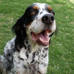"""Willy says """"It's Heartworm Pill Day!"""" Please don't forget to protect your dog. #dogs #dogsoftwitter #heartwormssuck #setters #englishsetters"""
