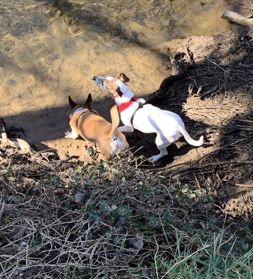 The dogs 🐶 shocked us the weekend an took themselves down to the river for a drink on our walk 😳👏🏽😁 They don't like going near water 💧 #dogsoftwitter #dogs