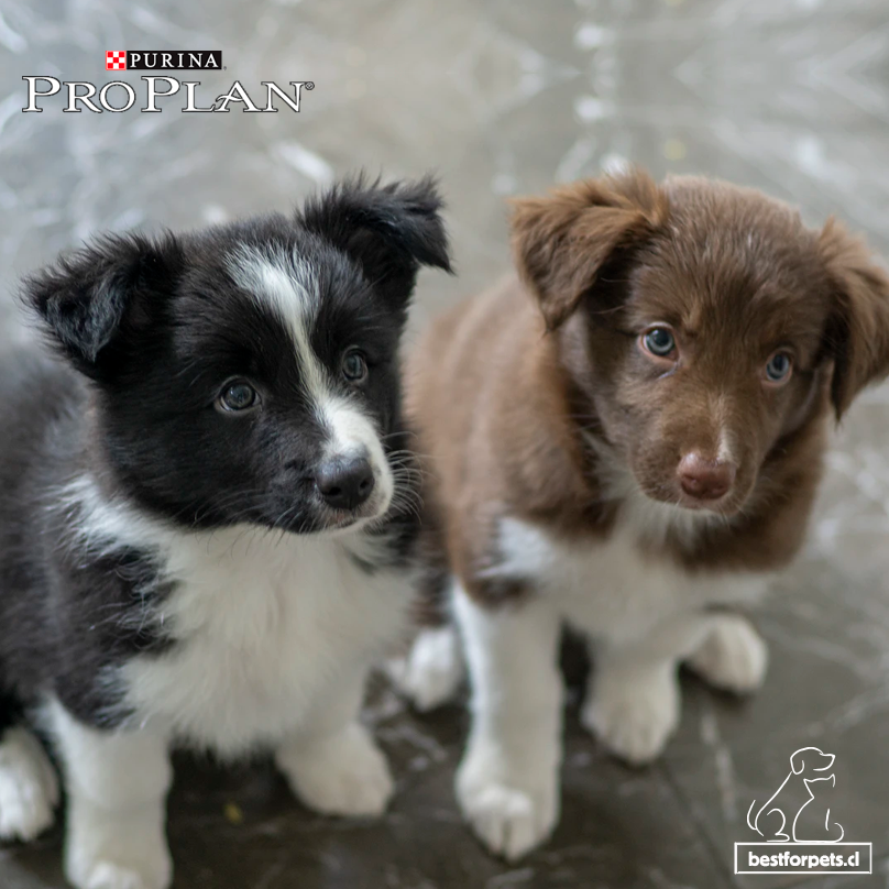 ¡Alimenta y protege su salud desde su primer día! 🐶😍🐾  PRO PLAN® Puppy OptiStart® contiene calostro que ayuda a proteger al cachorro durante la brecha inmunológica, nutriendo y reforzando sus delicados sistemas de protección 👉  #dogsoftwitter #dogs #dog