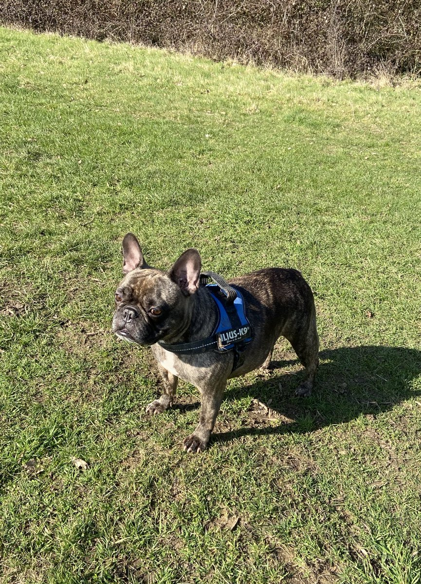 Out with one of my beastie's ☀️🌺 #dogsoftwitter #dog #frenchbulldog #sun #March1st