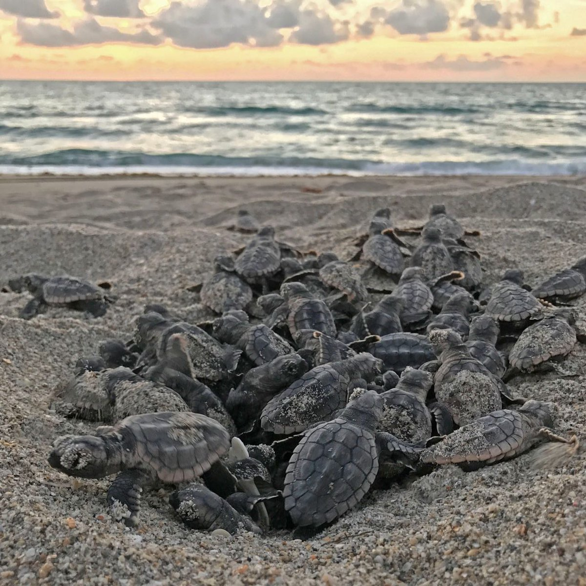 Sea turtle nesting season begins today! Nesting season runs March 1 - October 31 in Palm Beach County. It is critical to protect our beaches every day, not just during nesting season. How you can help:  📷: Loggerhead Marinelife Center #beaches #seaturtles