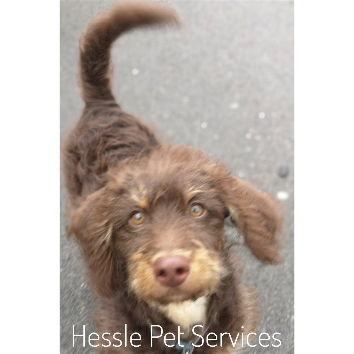 He enjoyed a short bouncy walk with lots of distractions... #dogwalker #dogtrainer #Hessle #puppyvisit #puppy #minaturelabradoodle #minaturelabradoodlepuppy #doodle #doodlepuppy #dogsoftwitter
