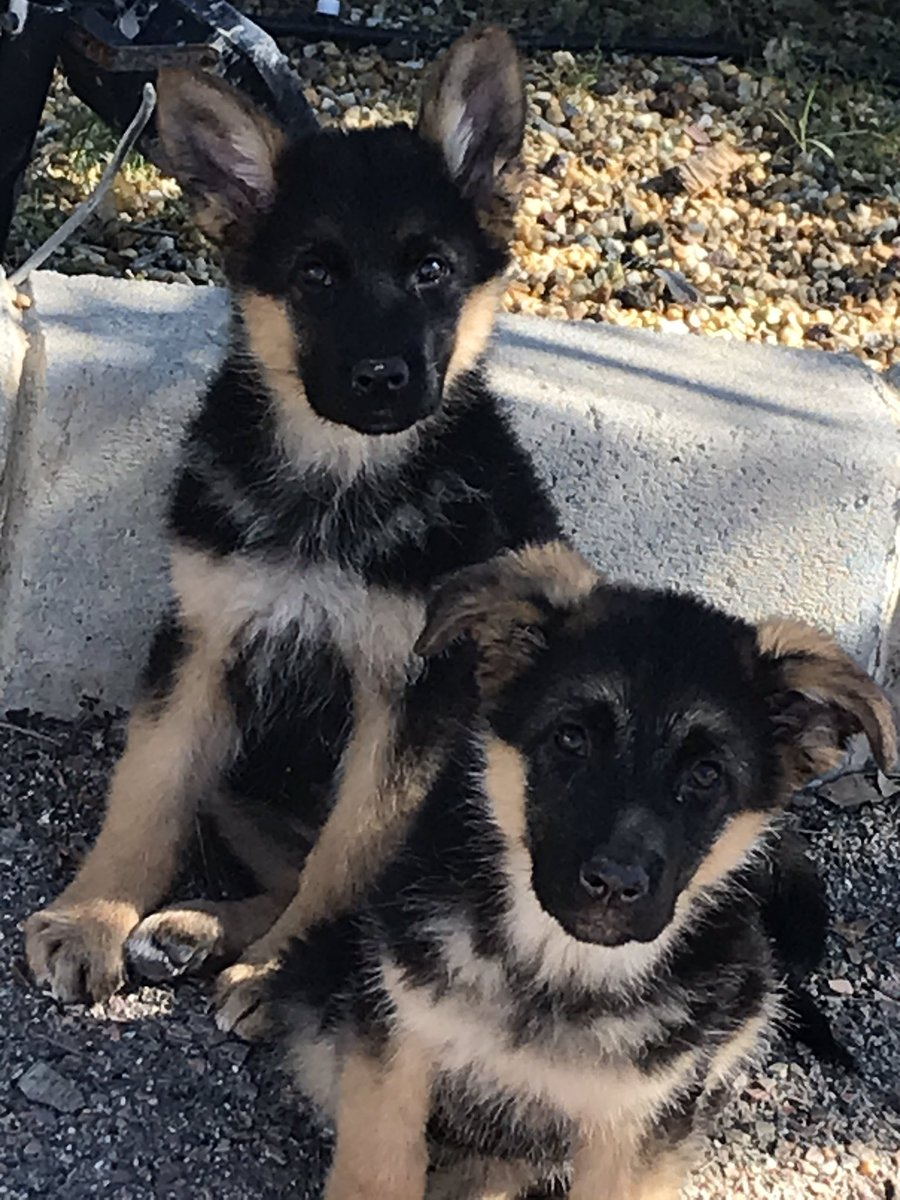Can't believe it's been just over a year since I brought these 2 home😱❤️❤️❤️!!  (P.S. For some reason, my second puppy always talks to my camera😂 Mouth wide open🤦♀️😂) #writingcommunity #dogsoftwitter