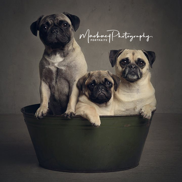 Look at all these pugs in a tub! 🐶😍 I bet bathtime is a soggy affair with ll that splashing! 🛁  #PetPortrait #MondayMood #Studioportrait #family #love #portraits #photography #Derby #Derbyshire #Memories #StudioLife